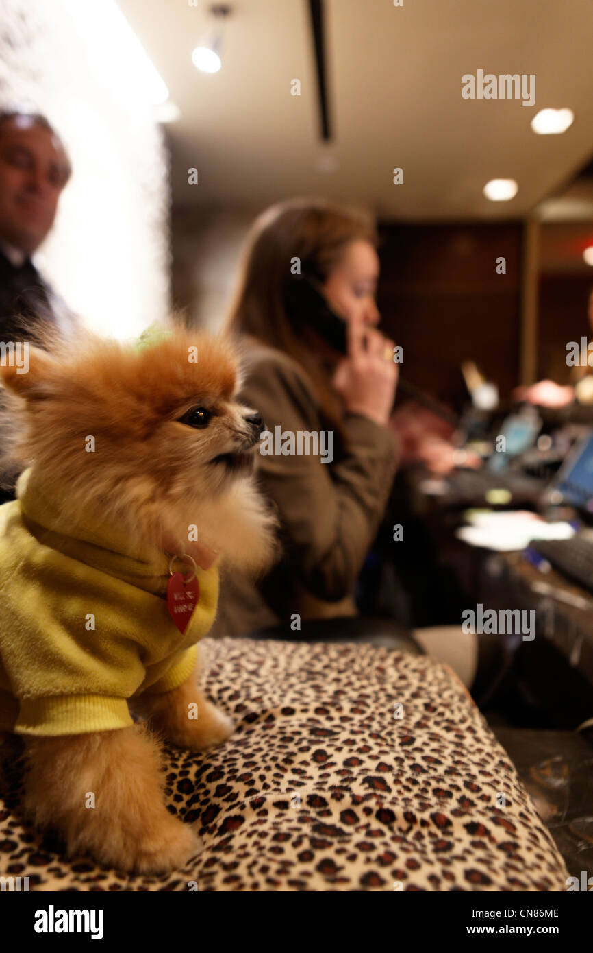 United States, New York City, Manhattan, Midtown, Muse hotel, desk clerk with her pet, 130 W 46th Street - Stock Image