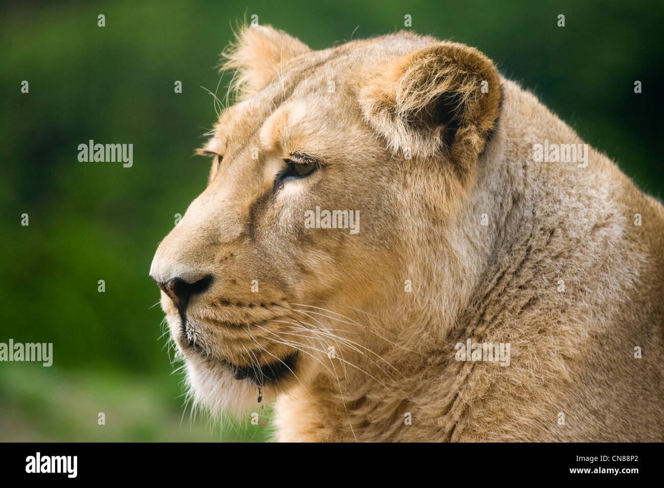 Asian Lion - Panthera leo persica - Stock Image