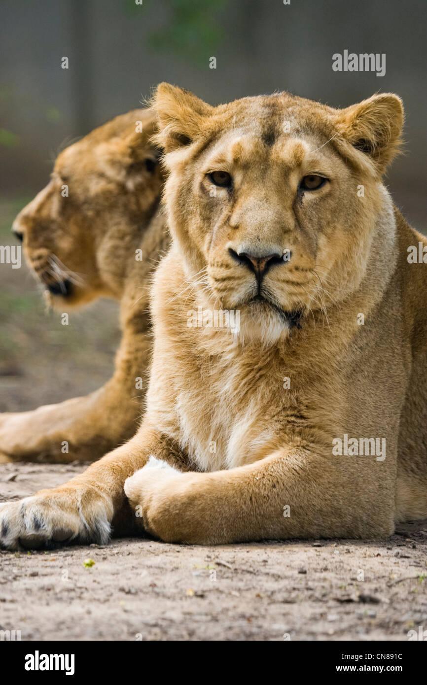Asian Lions - Panthera leo persica - Stock Image