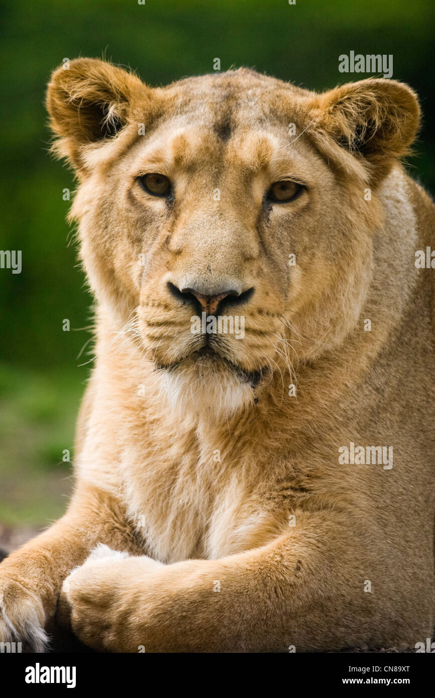 Asian Lion or Asiatic Lion - Panthera leo persica - Stock Image