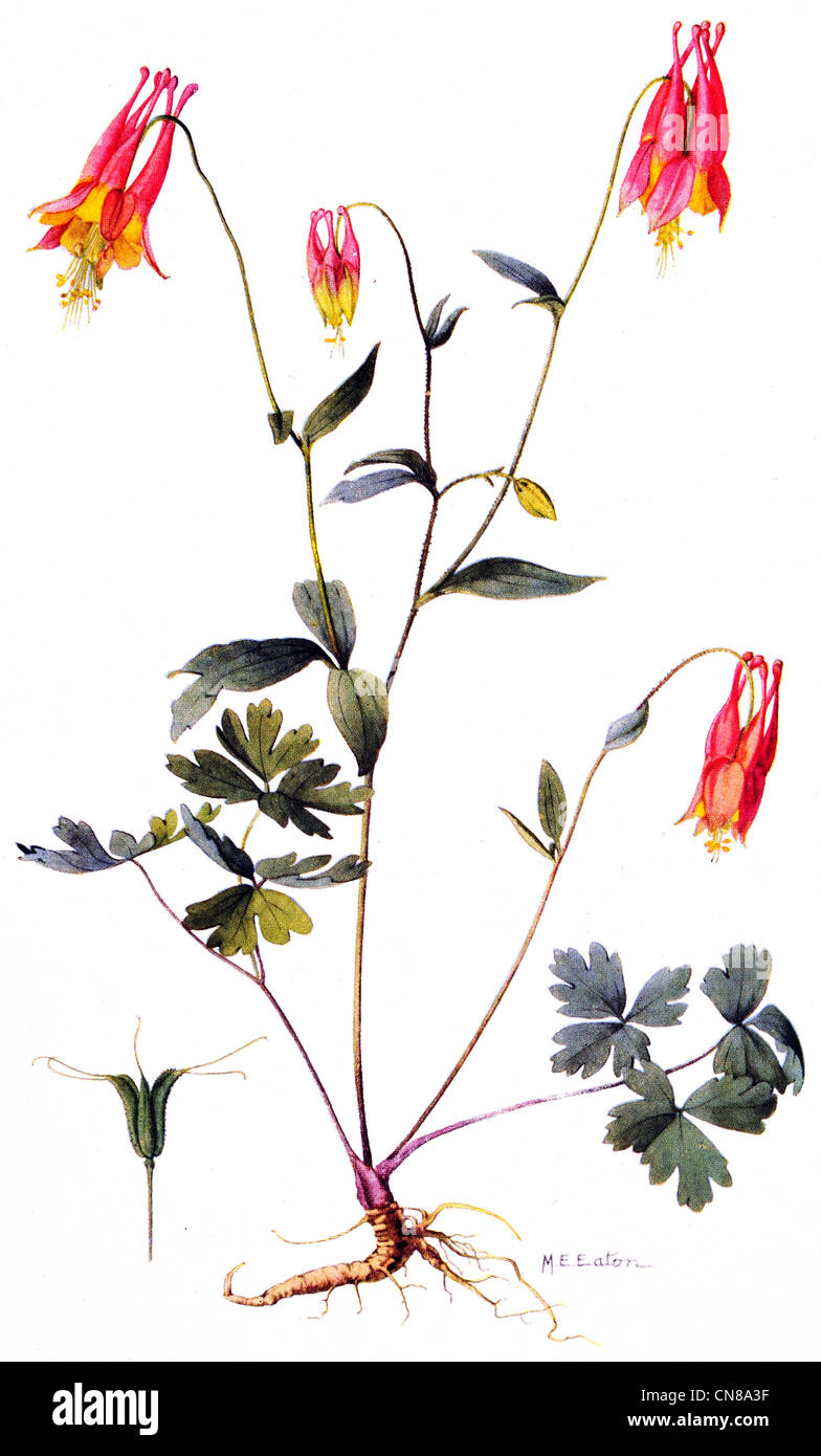 First published 1915 Wild Columbine Aquilegia Canadensis - Stock Image