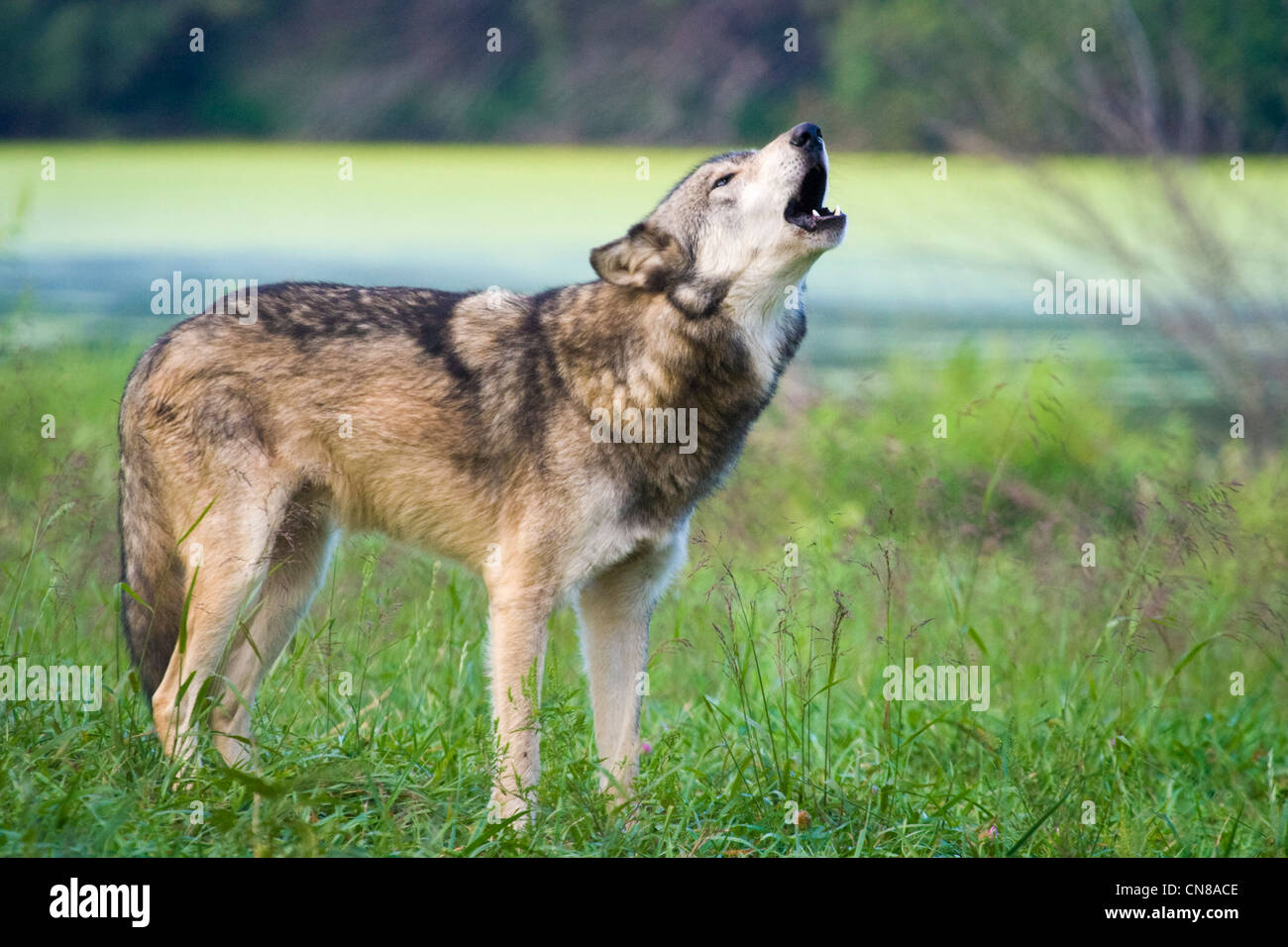 Grey Wolf howling - Canis lupus, USA - Stock Image