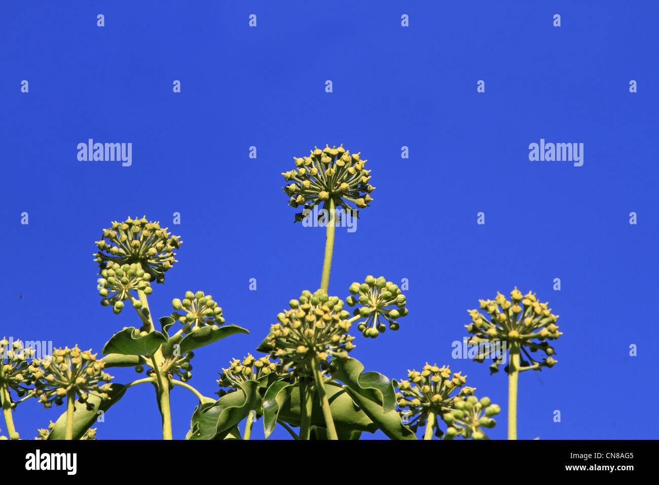 France, Bas Rhin, Common Ivy, English Ivy (Hedera helix), fruit Stock Photo