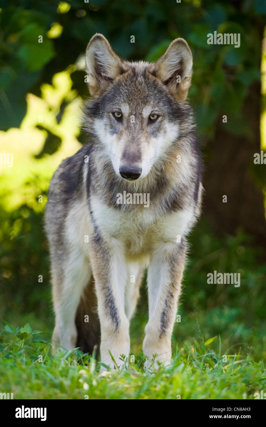 Young Grey Wolf, USA Stock Photo
