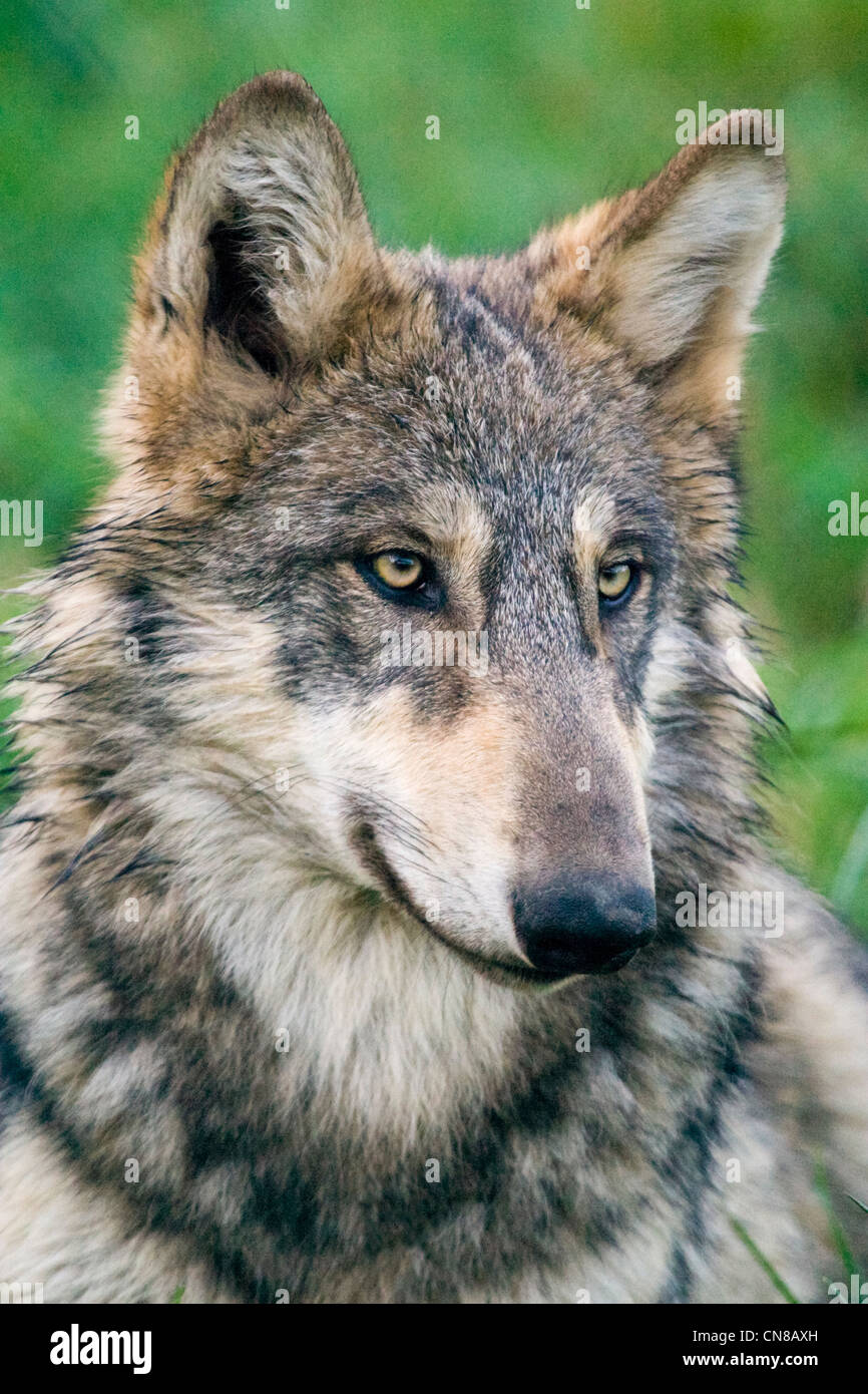 Grey or Gray Wolf - Canis lupus, USA Stock Photo