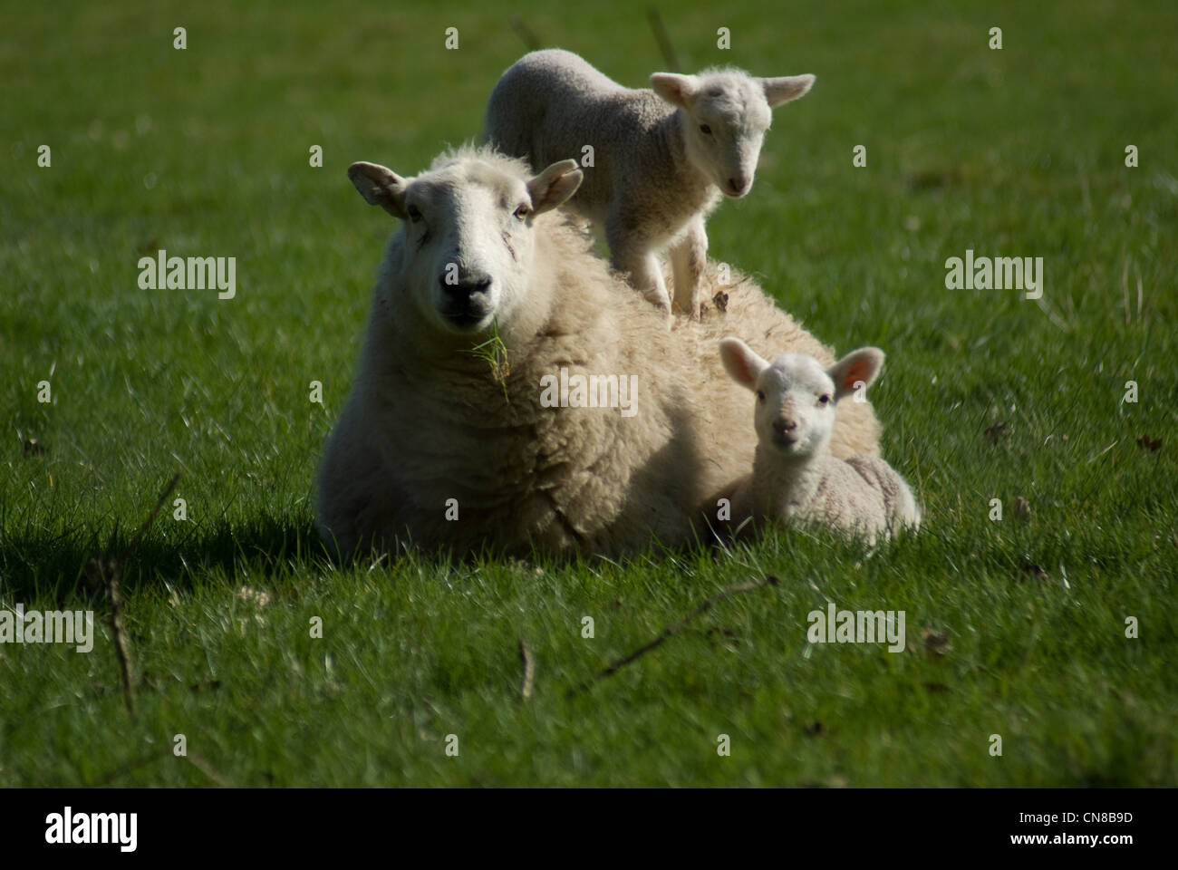 Welsh spring lamb with mum 03 Stock Photo