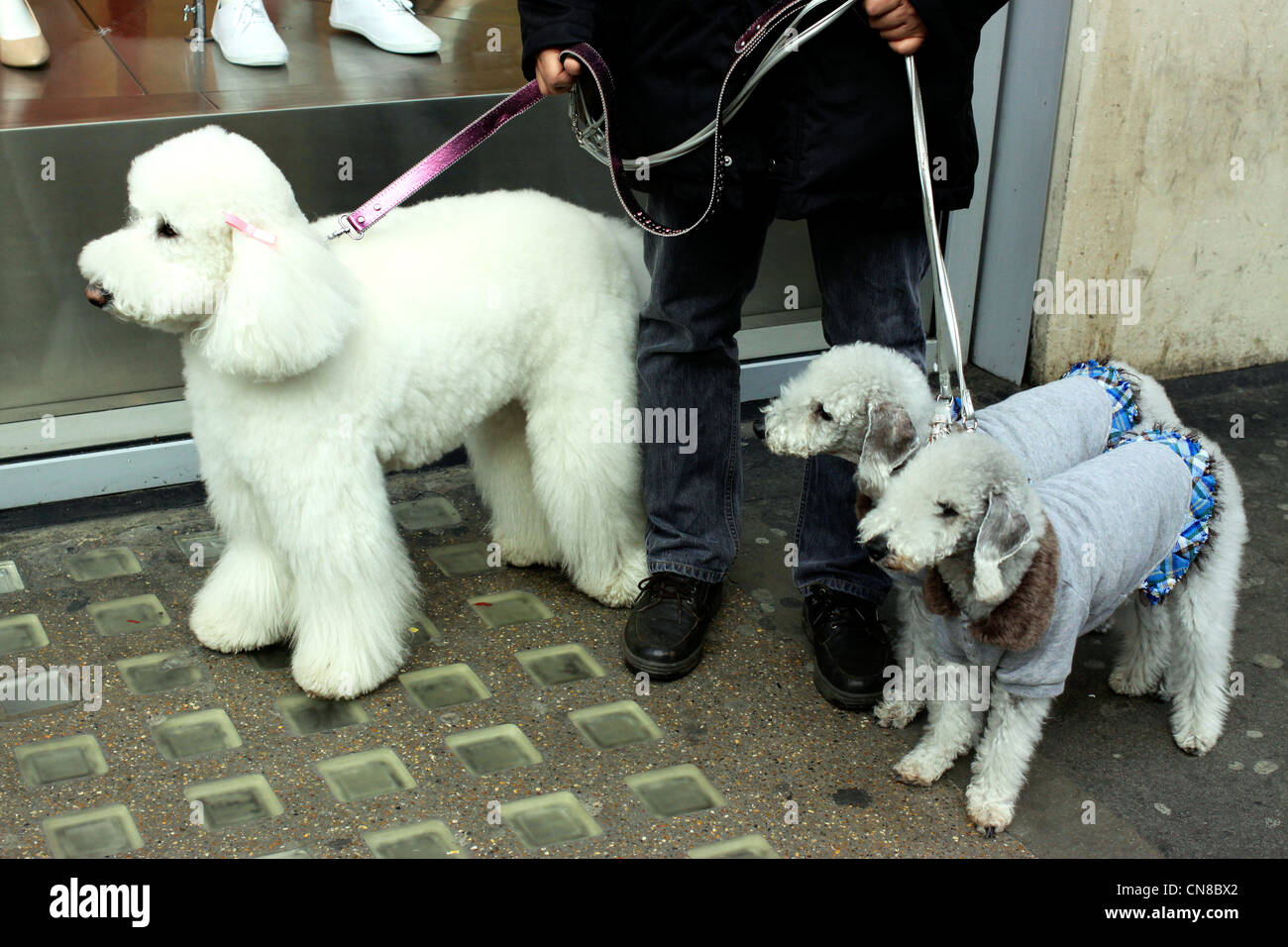 Pet poodles being taken for for a walk in London - Stock Image