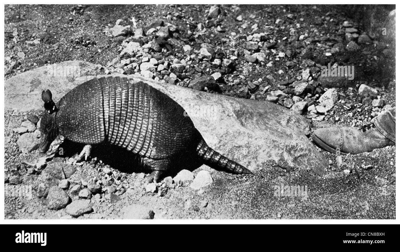 First published 1914 Nine Banded Armadillo Mexico central american  mexican - Stock Image