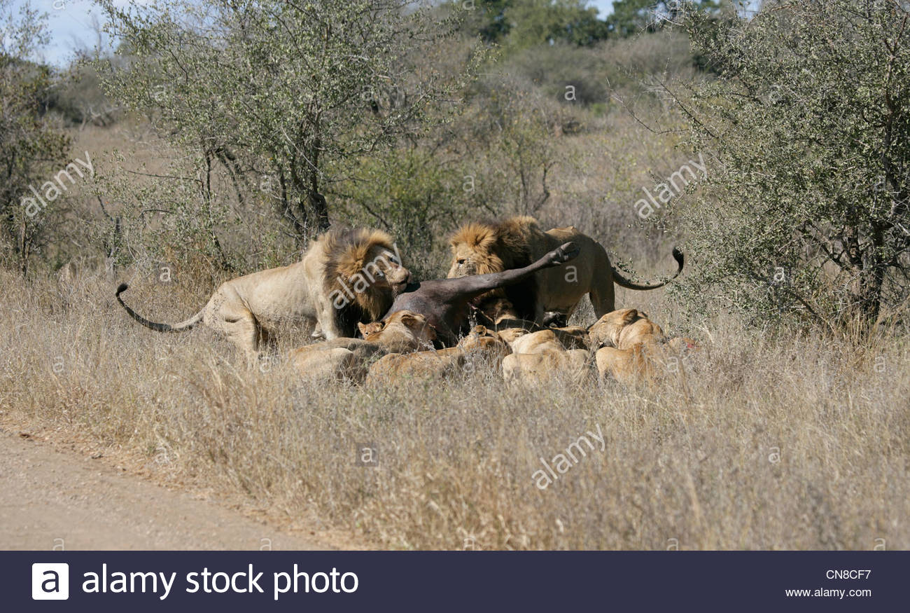 Lion Pride on Buffalo kill Stock Photo
