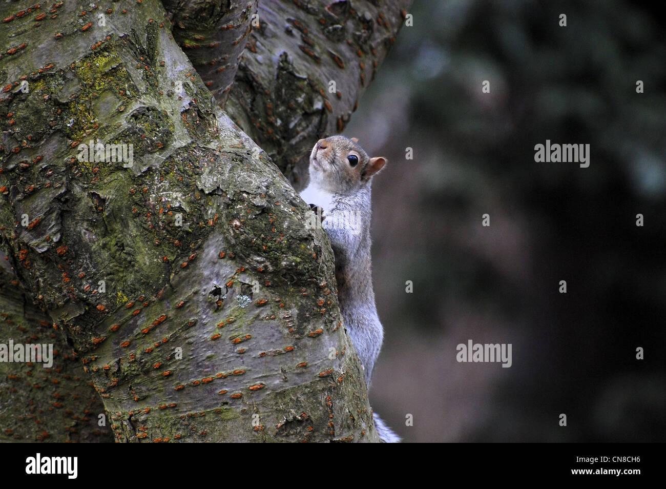 Grey squirrel, UK, paused on upward tree climb - Stock Image