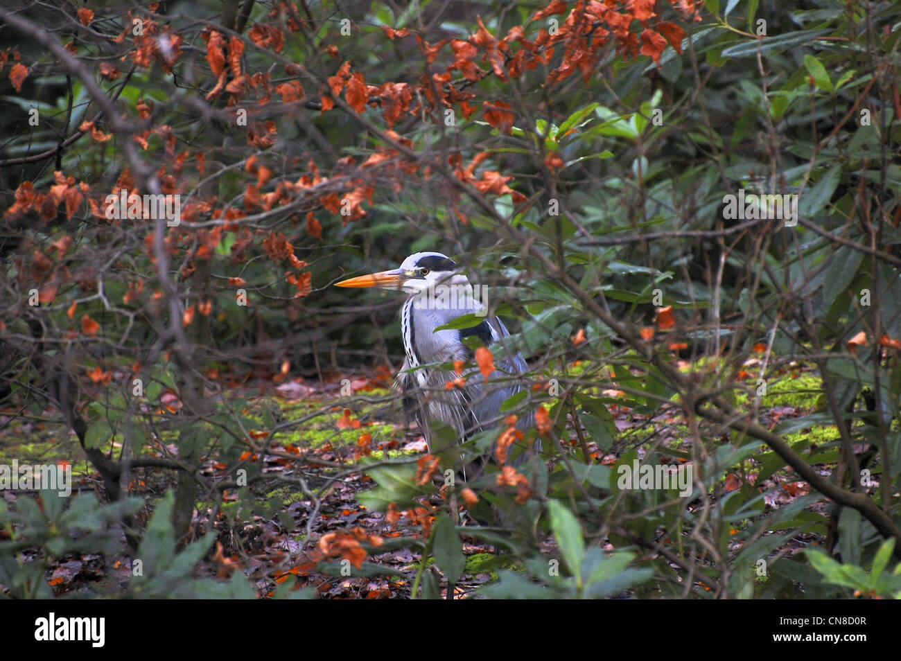 Heron partially concealed in shrubbery - Stock Image