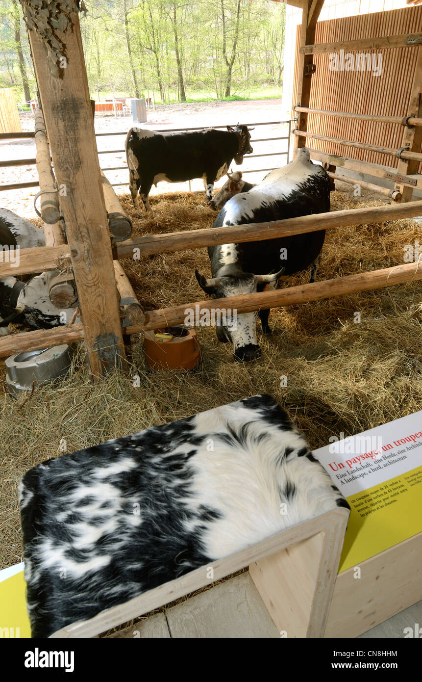 France, Haut Rhin, Gunsbach, Maison du Fromage (House of the Cheese), etable, cows from Vosges - Stock Image