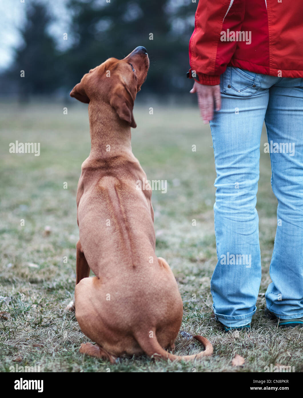 Master and her obedient (rhodesian ridgeback) dog - Stock Image