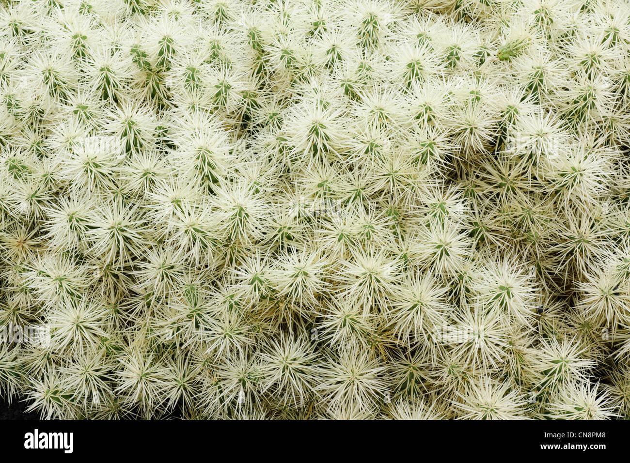 Lanzarote, Canary Islands - the Cactus Garden at Guatiza. Cactus Opuntia tunicata, Mexico. Stock Photo