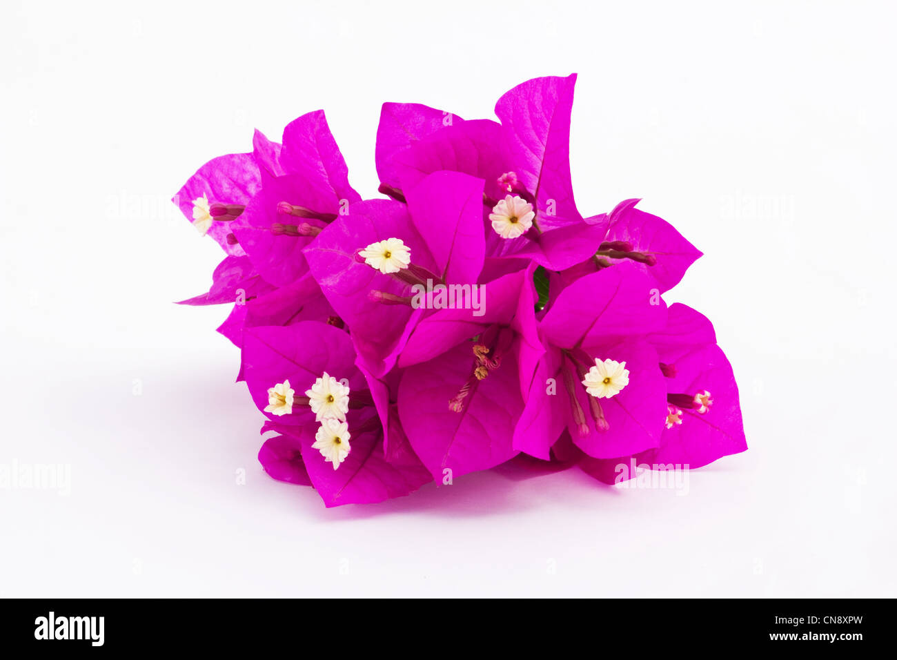 Pink bougainvillea flowers on white background - Stock Image