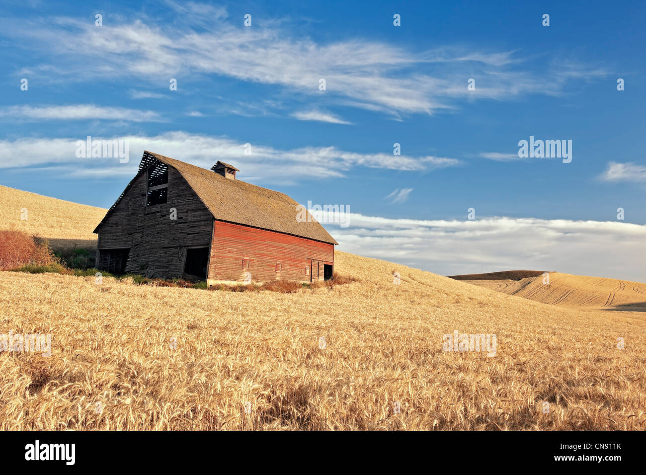 Old barn stands among fields of wheat ready for summer harvest in eastern Washington's Whitman County and The - Stock Image