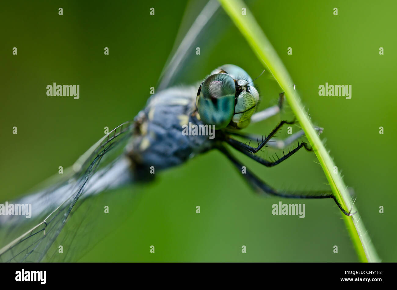 dragonfly in green nature or in the garden - Stock Image