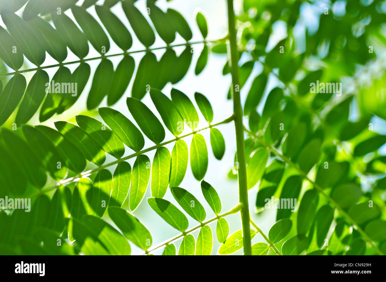 green leaf and sunlight in forest or in green nature Stock Photo