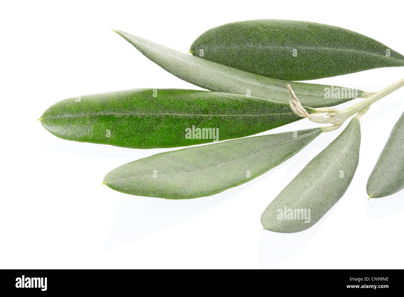 Olive twig - Stock Image