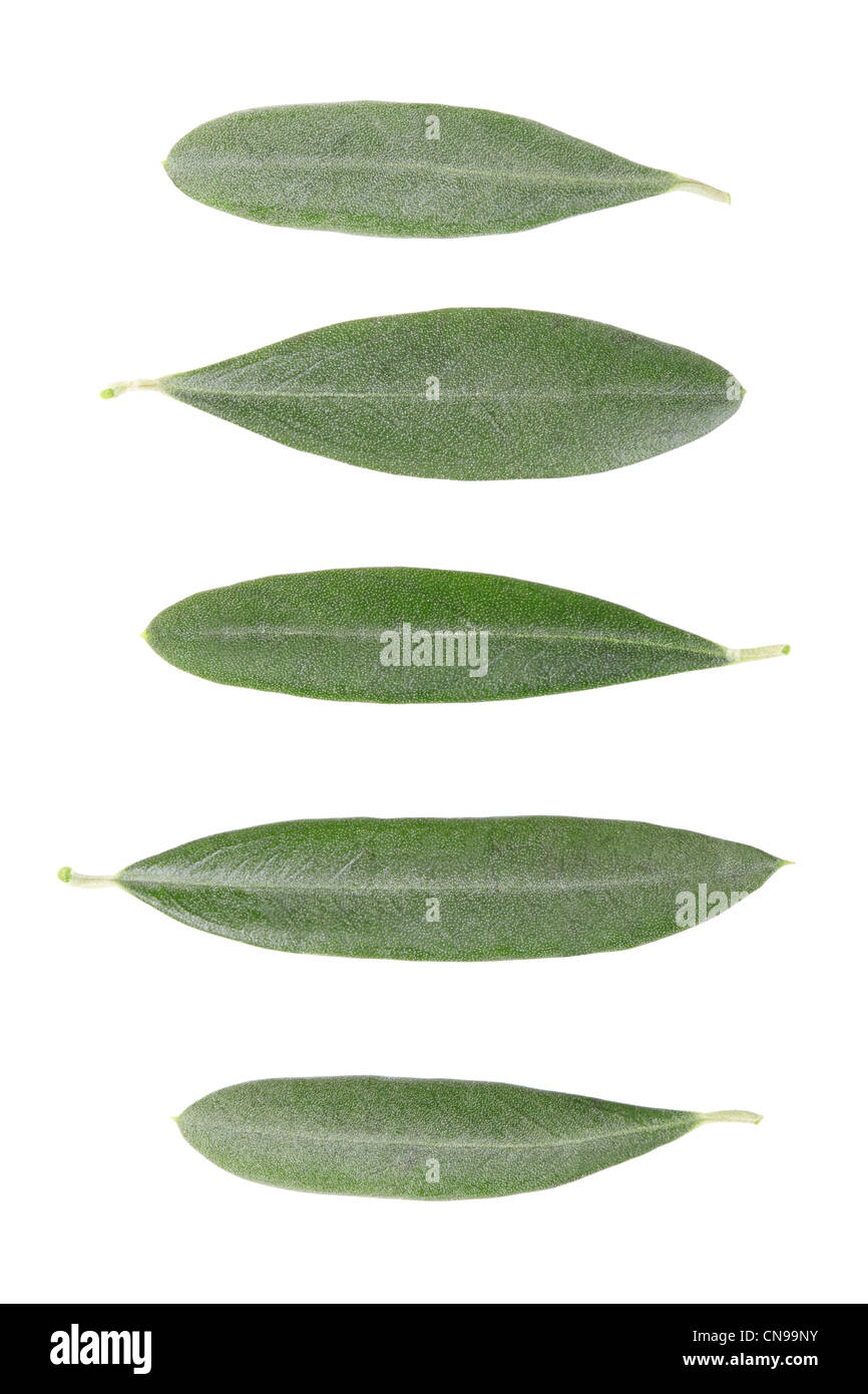 Olive tree leaves collection - Stock Image