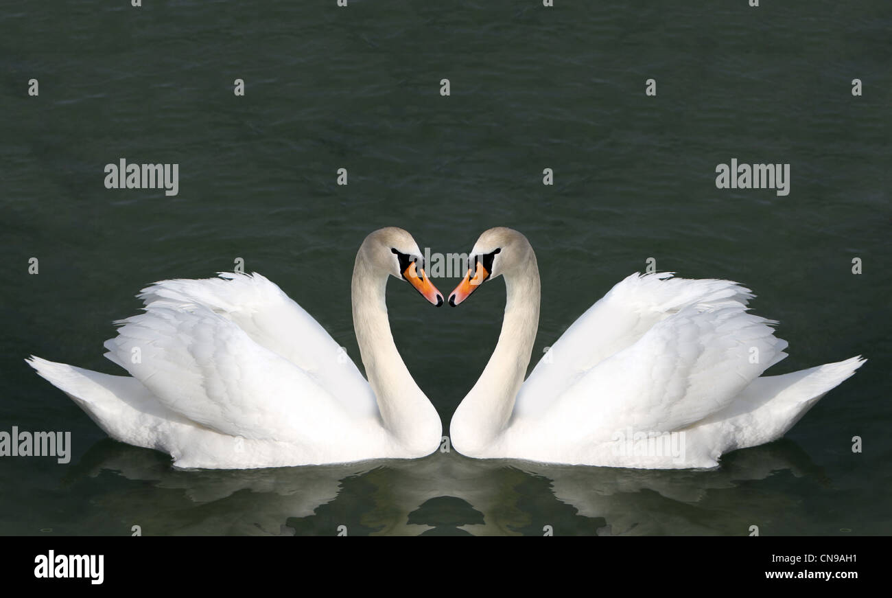 Two Swans On The Water Birds Represent Heart As A Wedding And Love