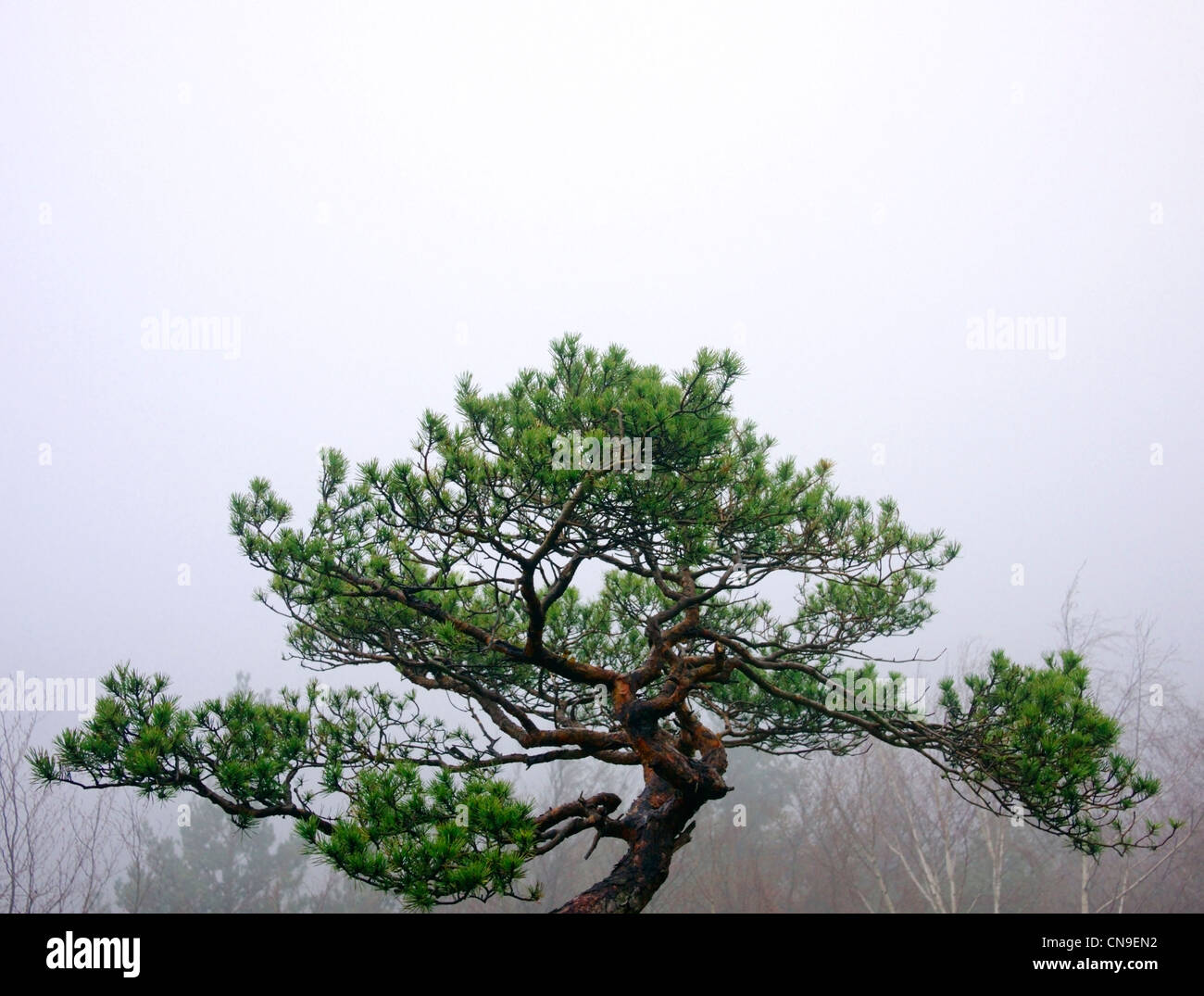 Pine tree in the fog - Stock Image