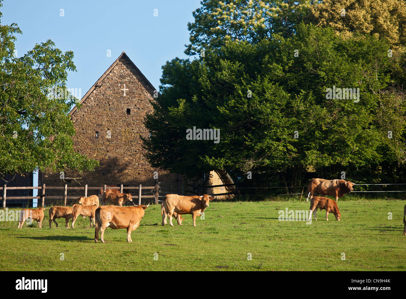 France, Correze, near Uzerche breeding Limousin cattle - Stock Image