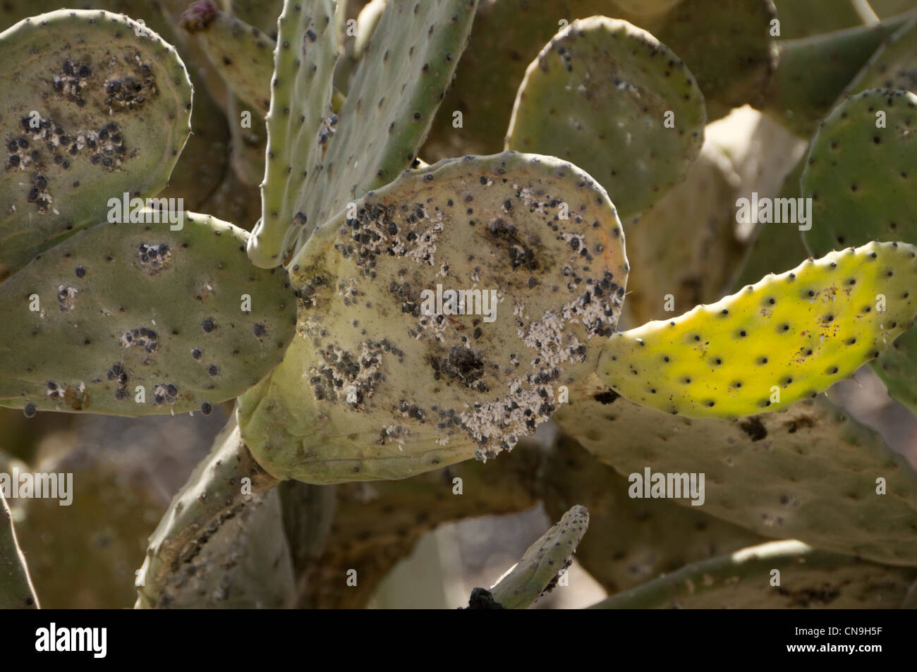 Lanzarote, Canary Islands - Cochineal Scale Insects on pricky pear (cultivated to harvest the insects). - Stock Image