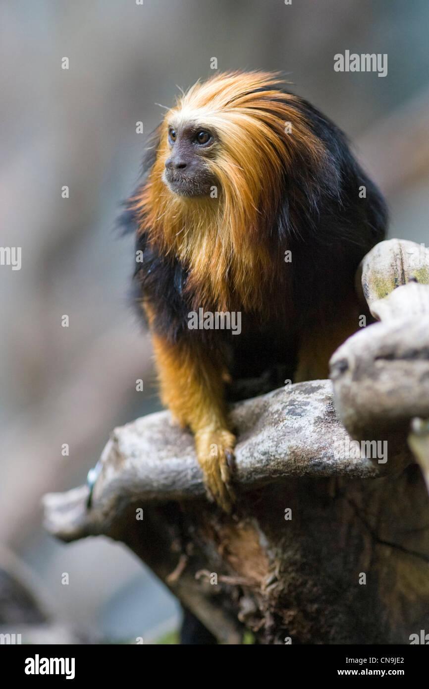 Golden Headed Lion Tamarin - Leontopithecus chrysomelas Stock Photo