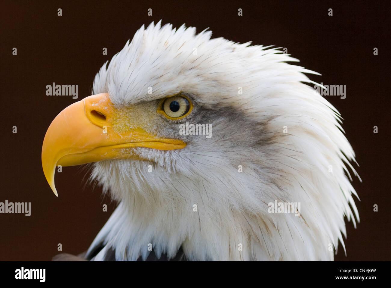Bald Eagle - Haliaeetus leucocephalus Stock Photo