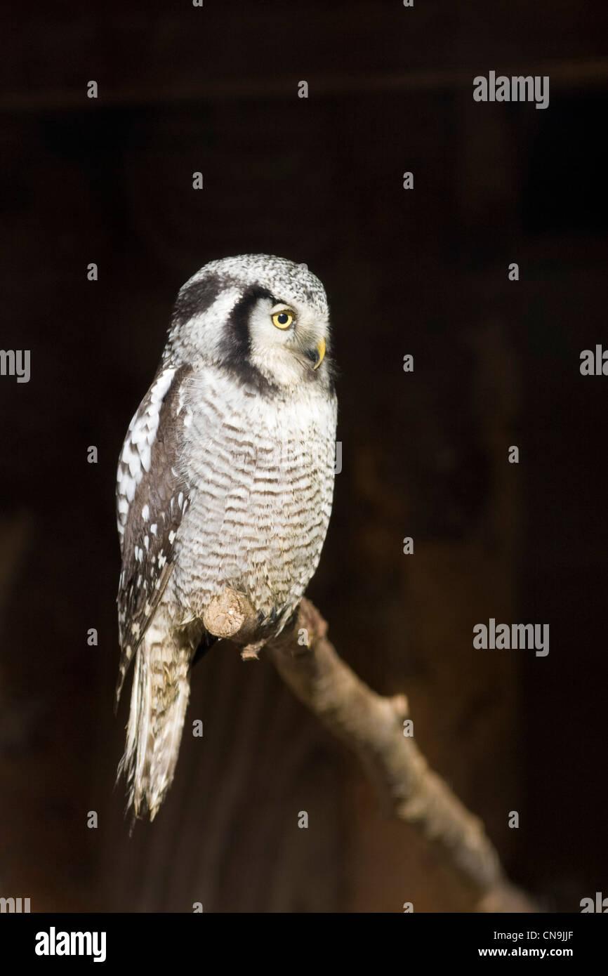 Northern Hawk Owl - Surnia ulula Stock Photo