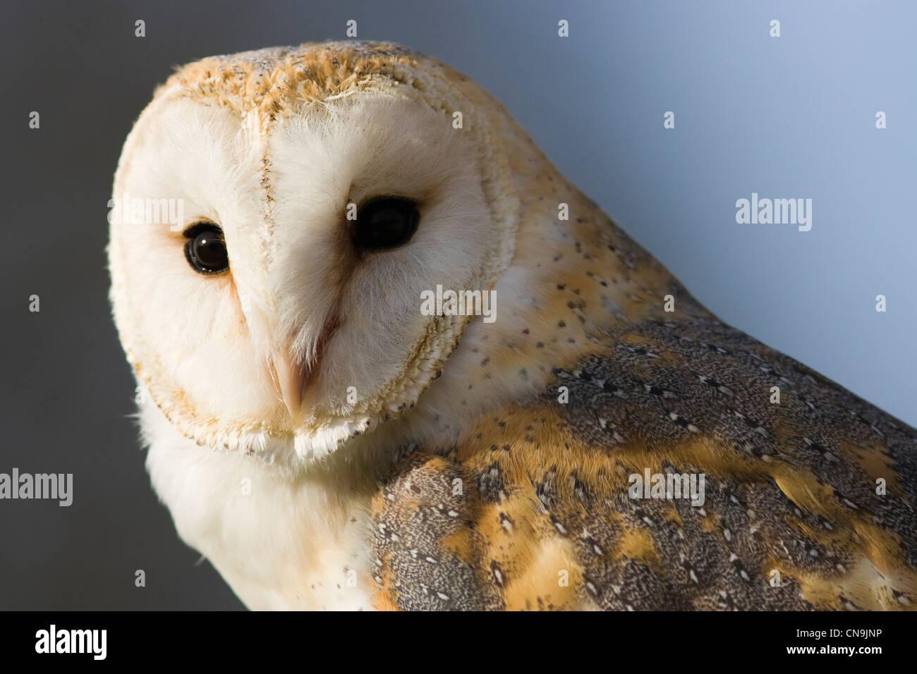 Close up portrait of a Barn Owl - Tyto alba Stock Photo