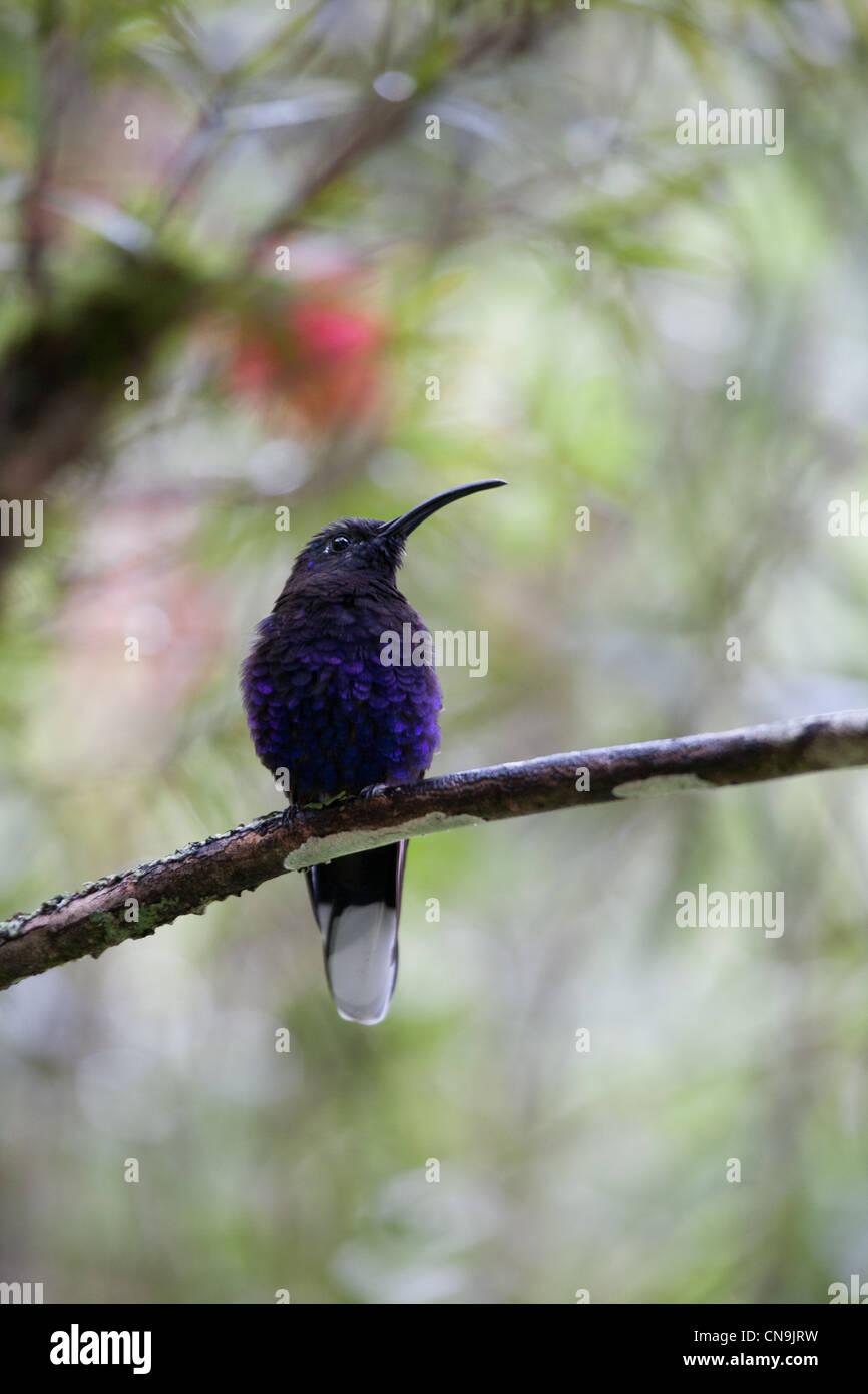 Violet Sabrewing, Campylopterus hemileucurus, in the cloudforest of La Amistad national park, Chiriqui Province, Republic of Panama. Stock Photo