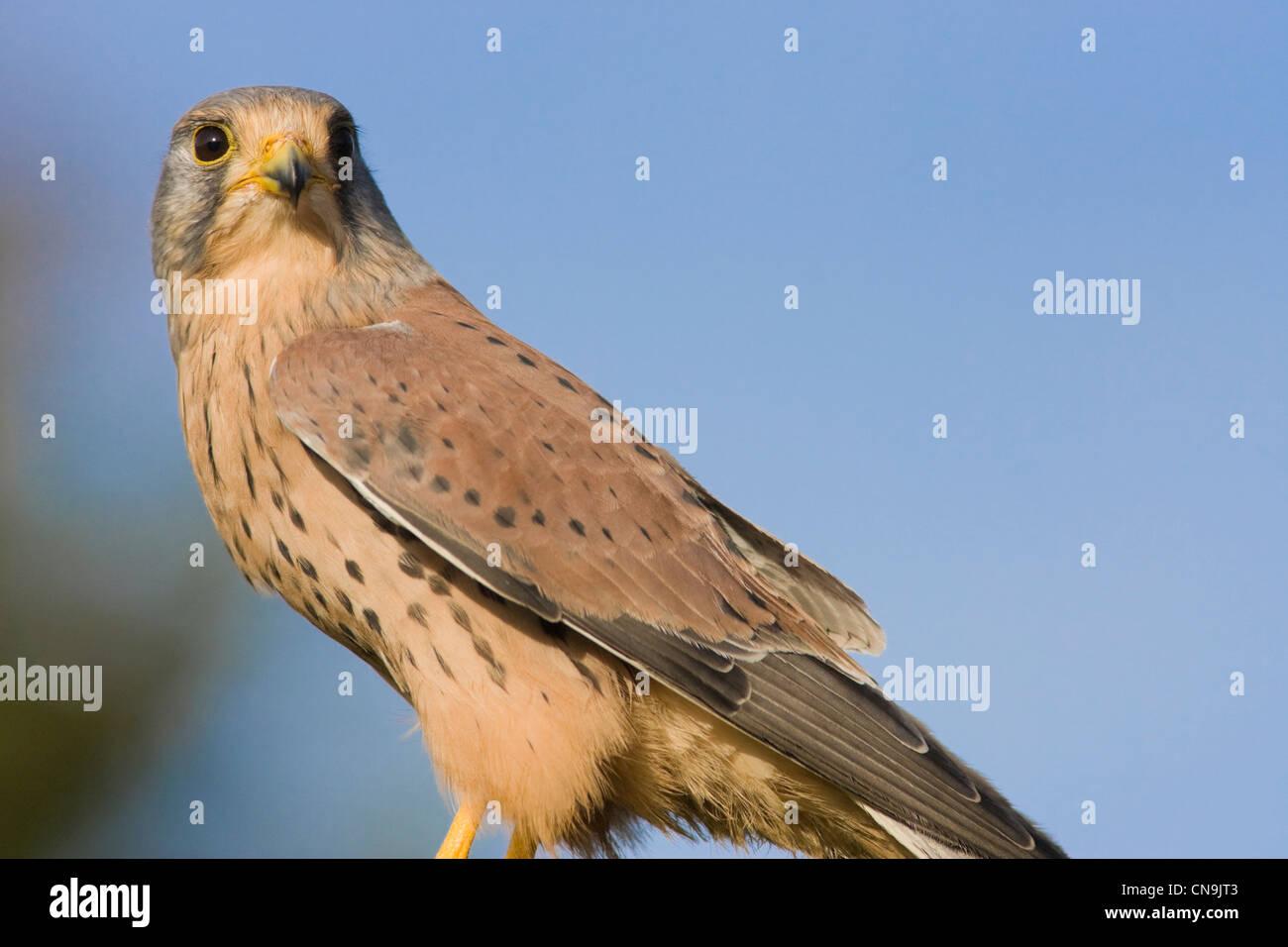 Common Kestrel - Falco tinnunculus - Stock Image