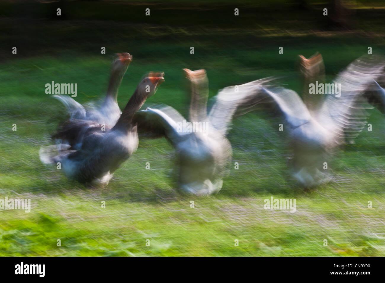 France, Dordogne, Domme, breeding geese at La Ferme de Turnac - Stock Image