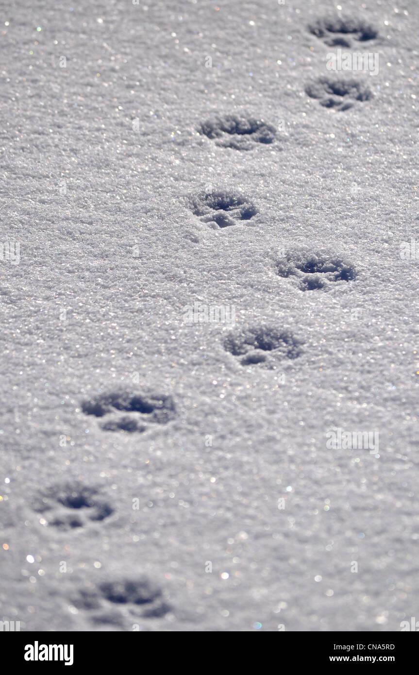 Animal dog tracks prints in the snow Stock Photo