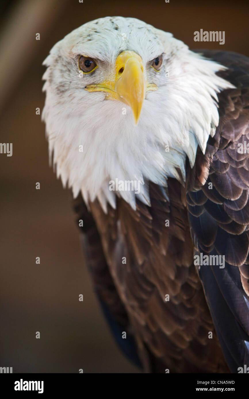 France, Lot, Rocamadour, Ecoparc the Rock Eagles, bird park, birds of prey, Bald Eagle (Haliaeetus leucocephalus), - Stock Image