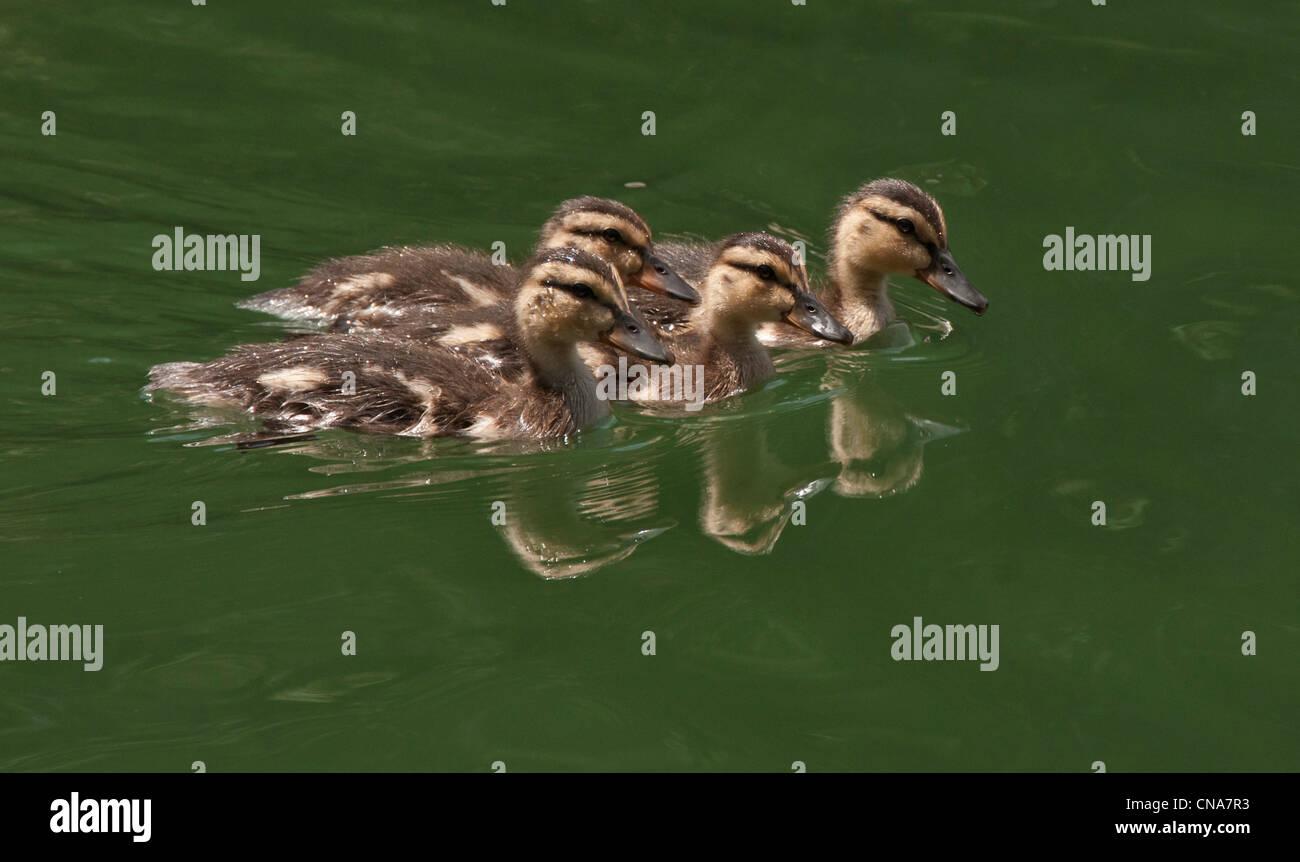 Mallard Ducklings (Anas platyrhynchos), Lake Oroville, Northern California - Stock Image