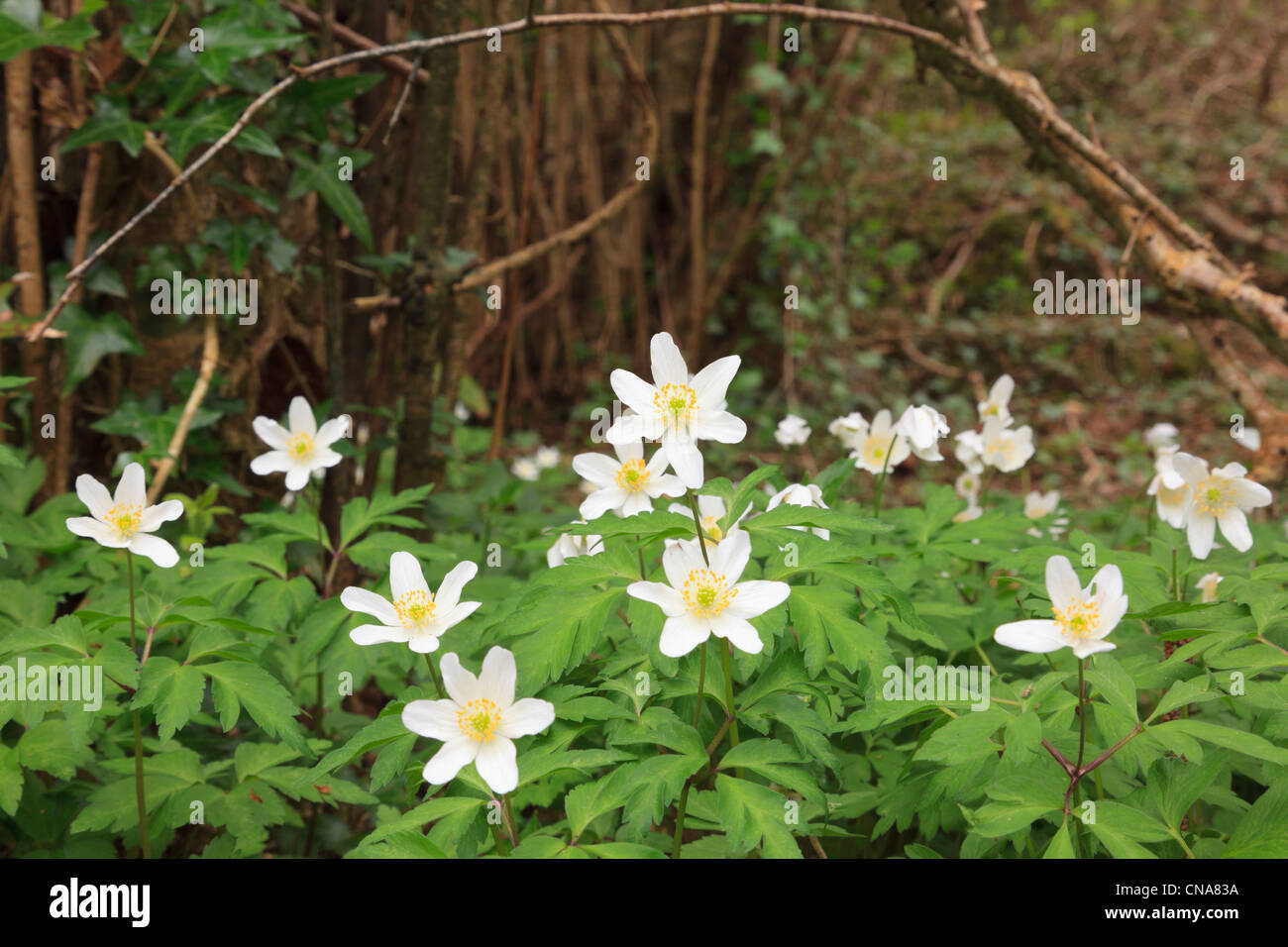 Close-up of Wood Anemones Anemone nemorosa flowering in spring in a coppiced woodland. Anglesey North Wales, UK. Stock Photo