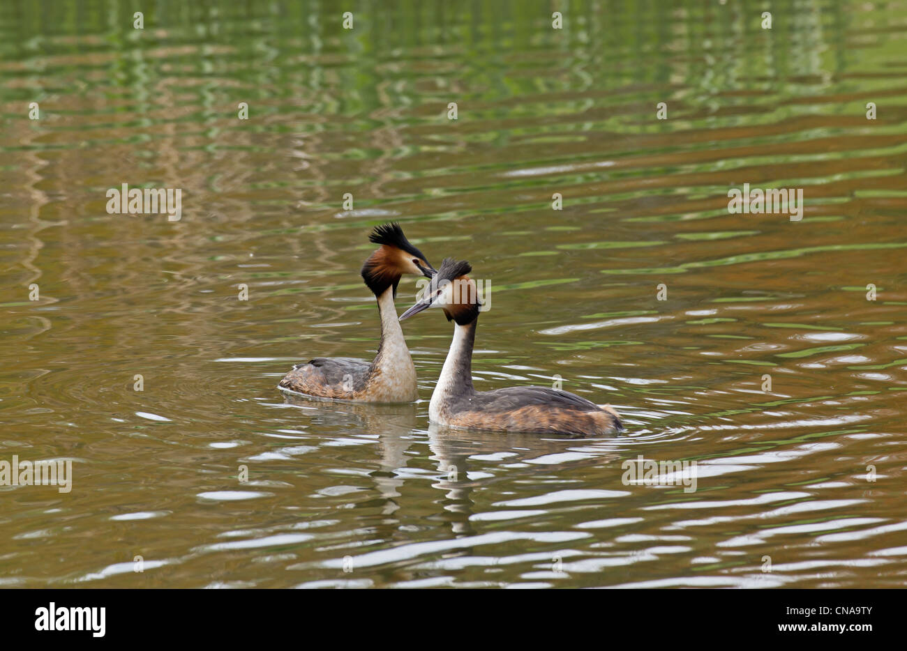 A pair of great crested grebes on a lake ( Podiceps cristatus ) - Stock Image