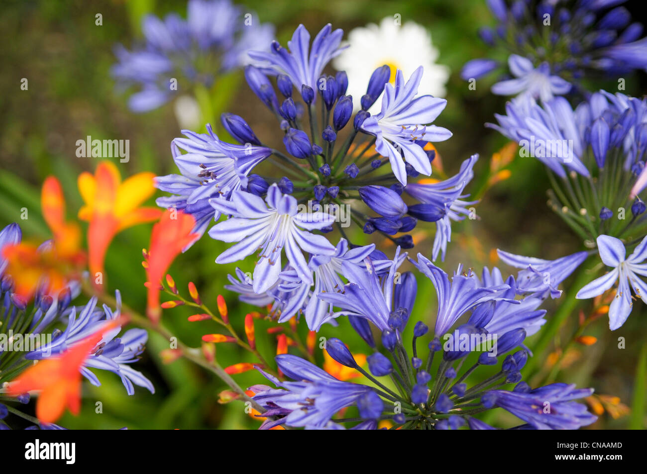 France, Cotes d'Armor, Brehat island flower of Agapanthus (Agapanthus Navy Blue) - Stock Image
