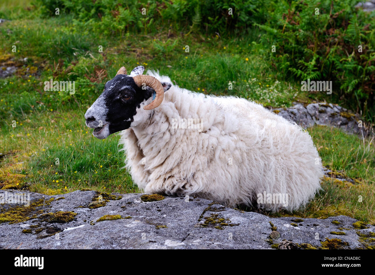United Kingdom, Scotland, Highland, Inner Hebrides, Isle of Mull, ram - Stock Image