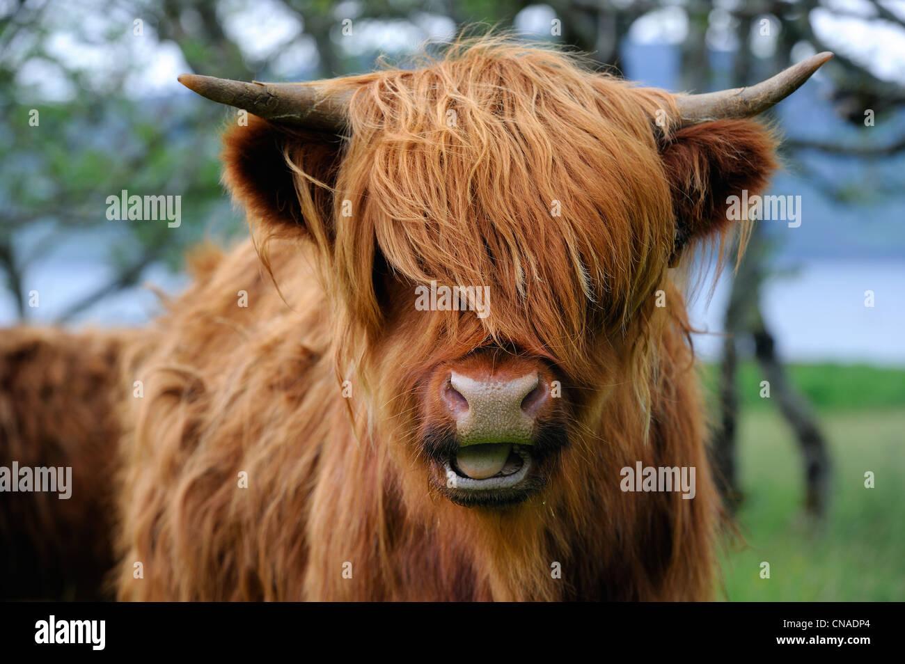 United Kingdom, Scotland, Highland, Inner Hebrides, Isle of Mull, Highland cattle - Stock Image