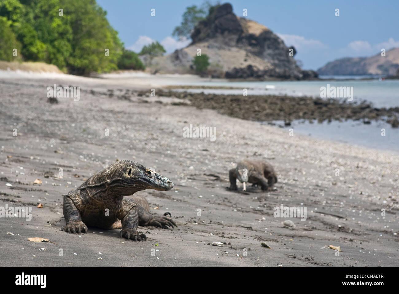 A pair of Komodo dragons, Varanus komodoensis, wander the shoreline on Rinca Island. Cannibal Rock is in the background. - Stock Image