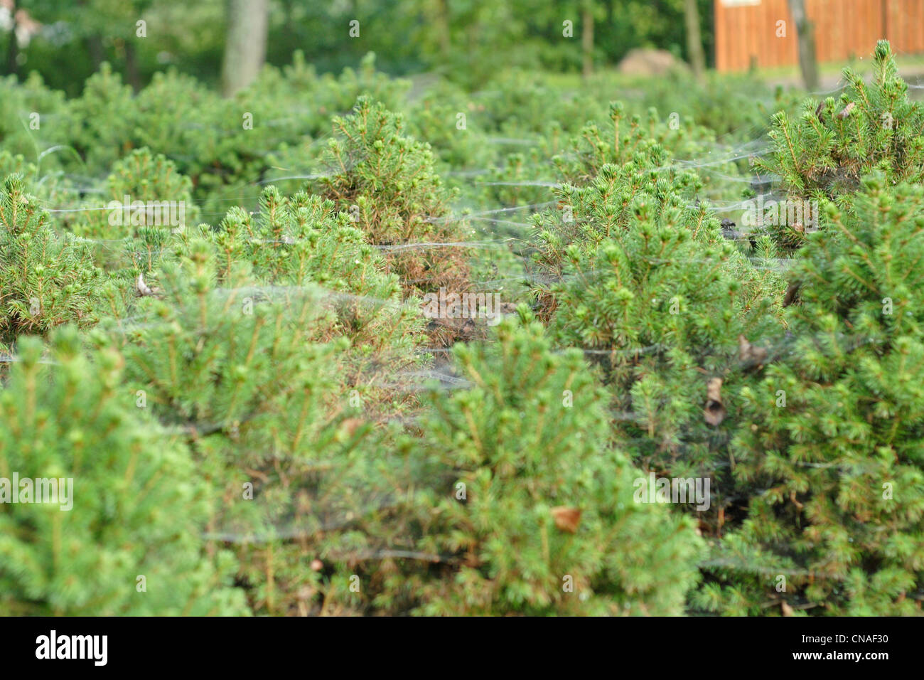 young spruces covered the cobweb - Stock Image