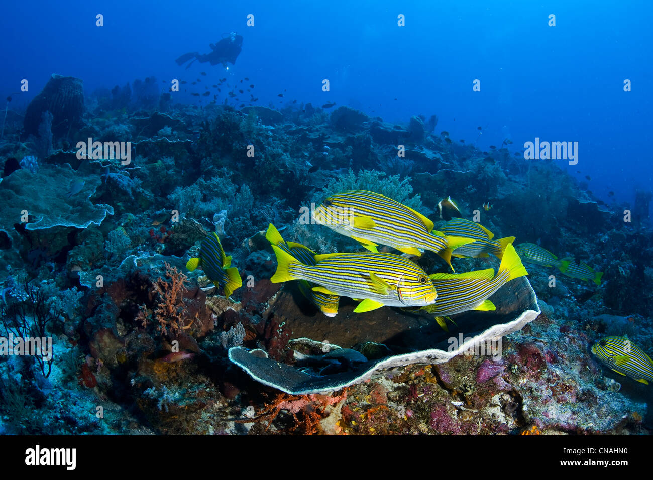 A school of Ribbon sweetlips, Plectorhinchus polytaenia, rest close together during the day and will forage at night - Stock Image