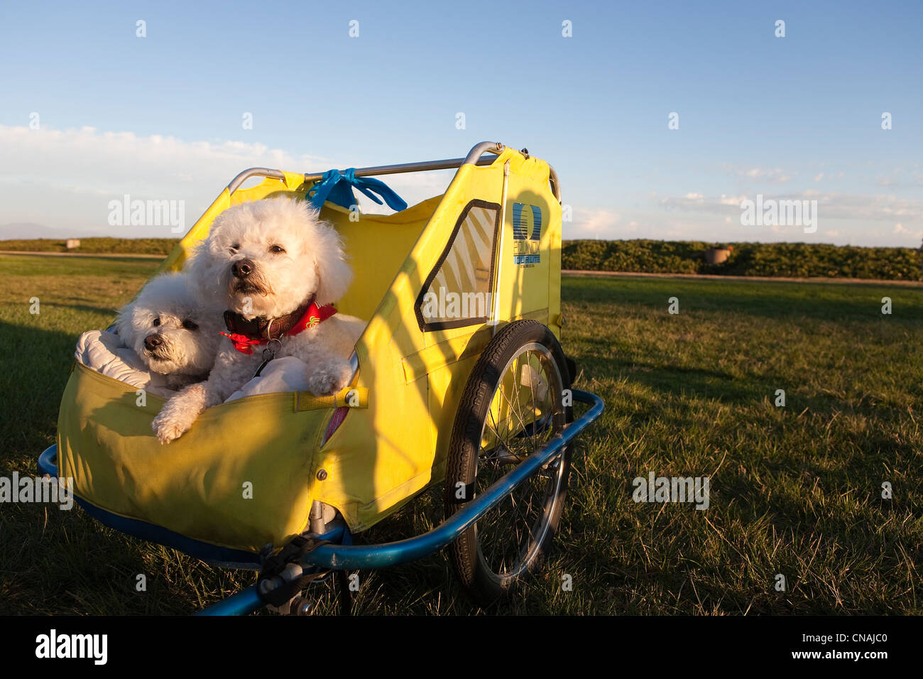 United States, California, Santa Barbara, toy poodles in a bicycle carriole - Stock Image