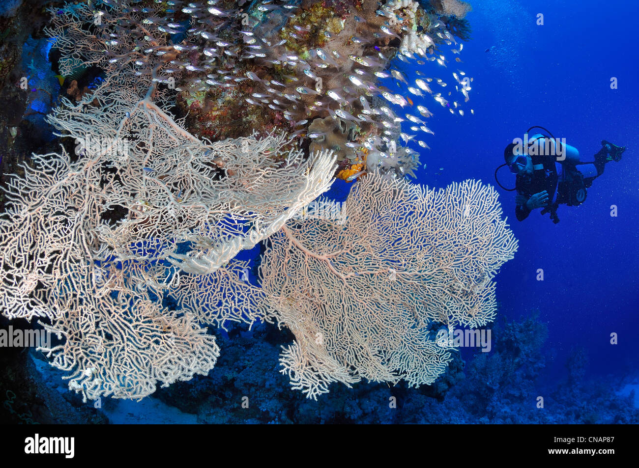 Egypt, Red sea, a coral reef with fan-corals (Subergorgia hicksoni) and a diver - Stock Image