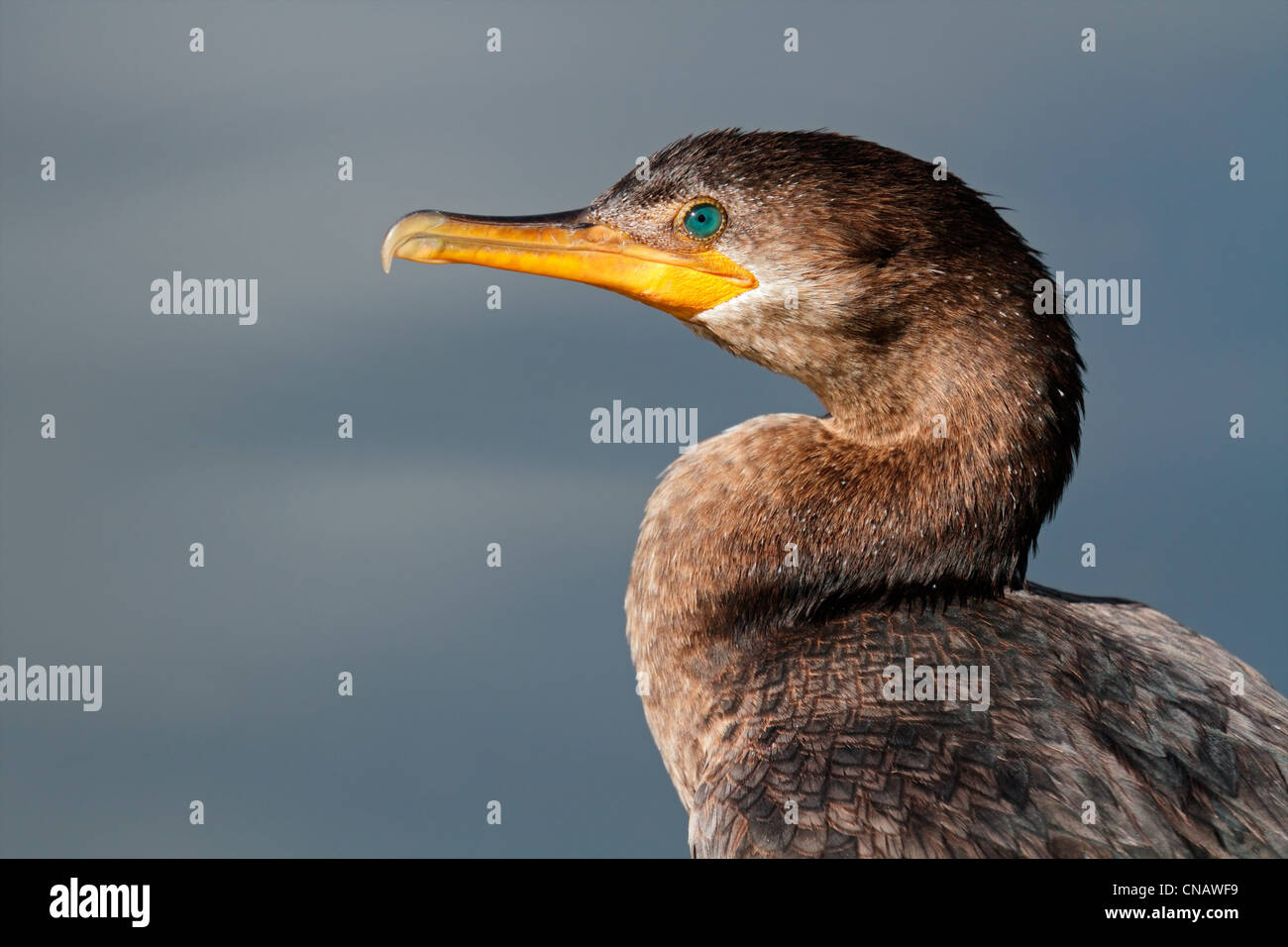 Portrait of a Neotropic cormorant (Phalacrocorax brasilianus), South America - Stock Image