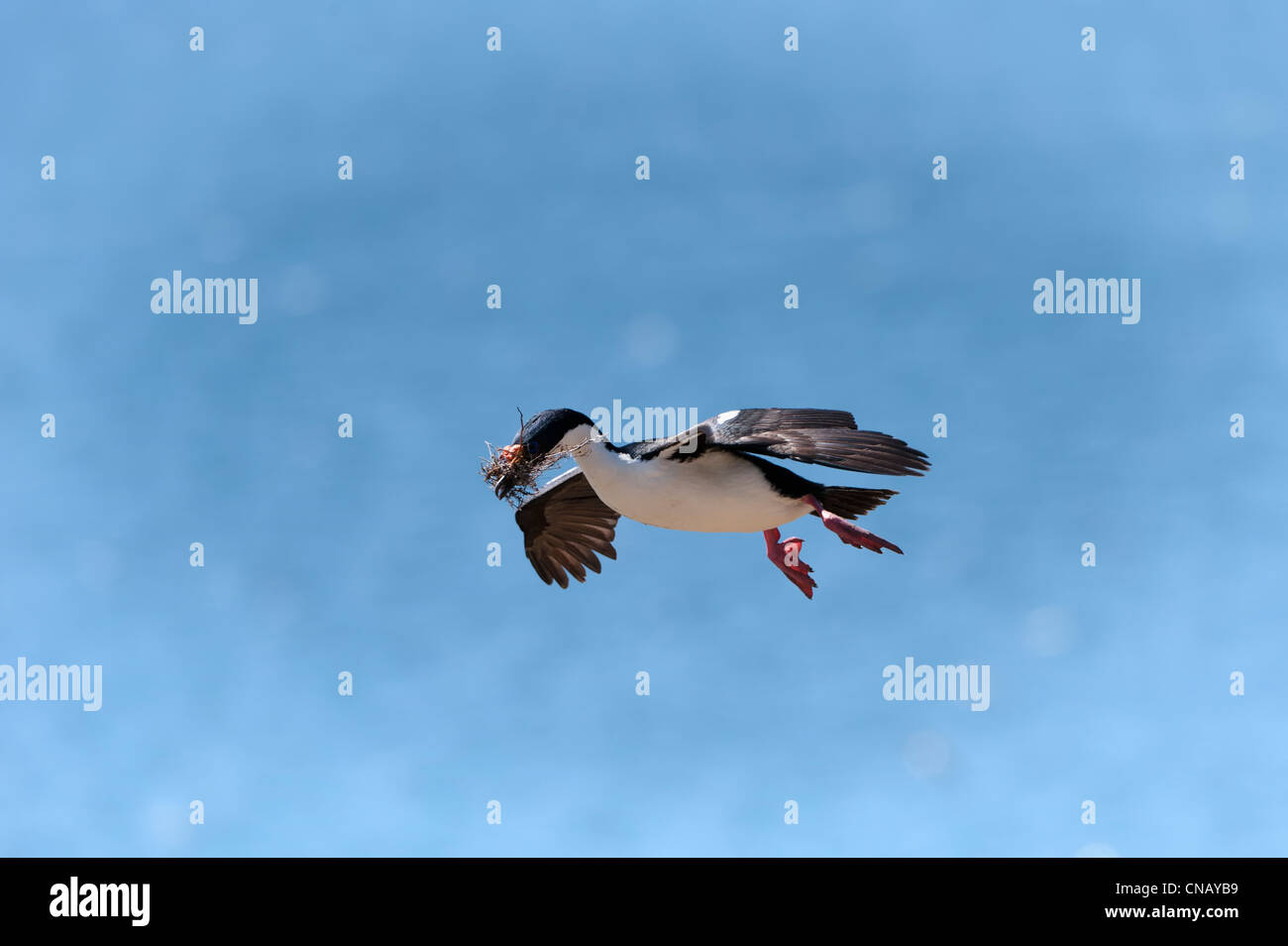 Imperial Shag, formerly Blue-eyed or King Cormorant, (Phalacrocorax atriceps) flying with nesting material, Falkland - Stock Image